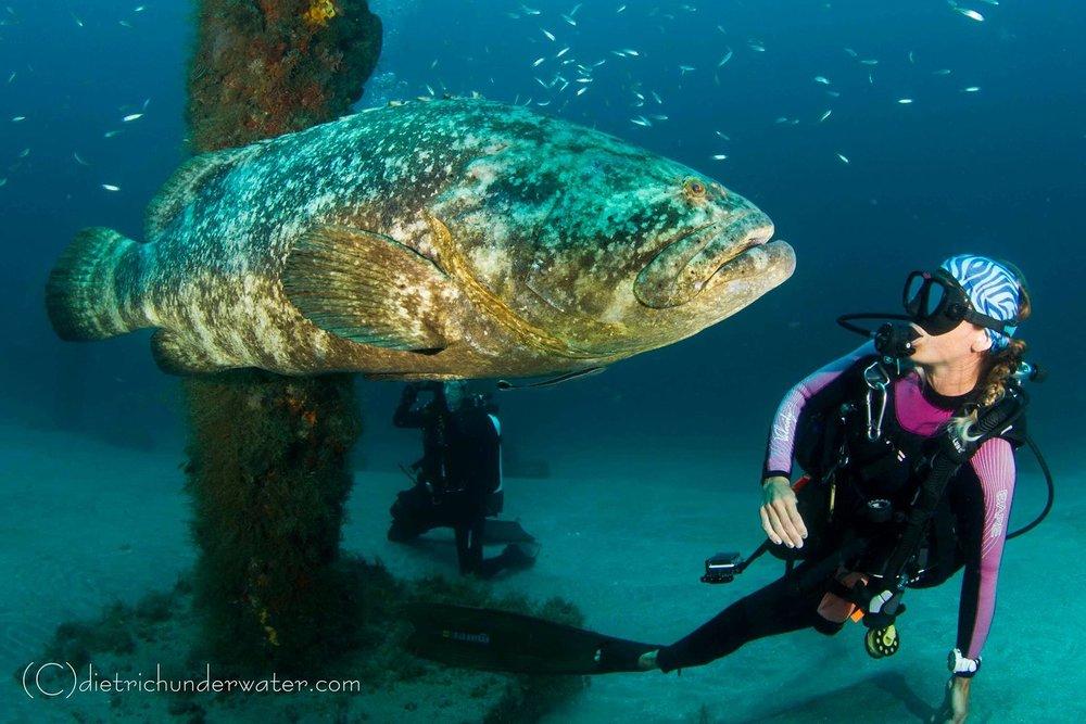 Goliath Grouper Dives With Jupiter Dive Center