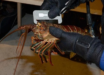 Last Weekend For Lobster This Season!